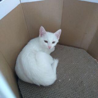 3ヵ月白猫の姉妹
