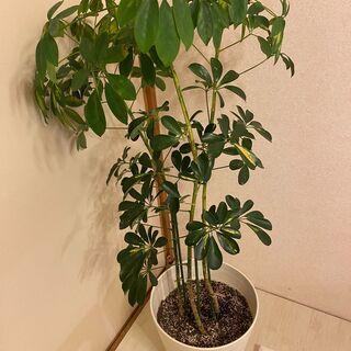 観葉植物 大 鉢付き カポック