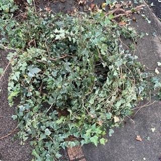 アイビー観葉植物などに 挿し木