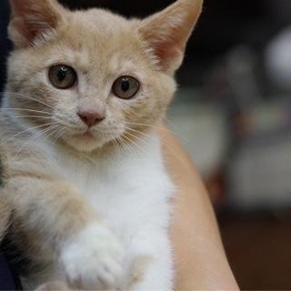 里親募集 淡い茶白の甘えんぼうな子ネコちゃん。