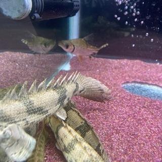 カラープロキロダス(熱帯魚)