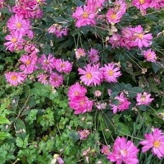 秋明菊 八重咲き