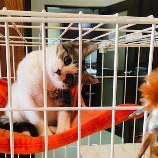 急募【生後3カ月】保護子猫 かわいい男の子 飼育セット進呈