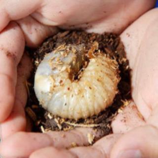国産カブトムシ無料 幼虫 飼育