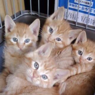 子猫たくさん保護しています。茶トラ女の子、男の子 キジ女の…