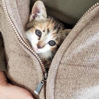 2ヶ月になったばかりの三毛猫 ほなみ