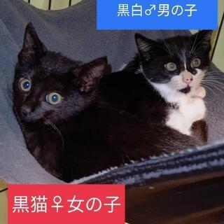 2ヶ月黒白♂&黒猫♀兄妹里親様募集中