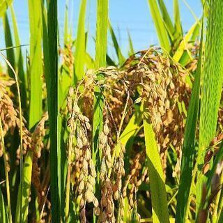 【ネット決済】農家直販 令和3年産 ひとめぼれ玄米 30kg