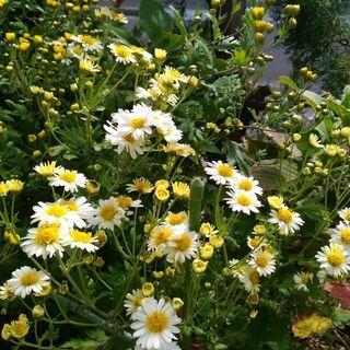 菊 白花と黄花の鉢
