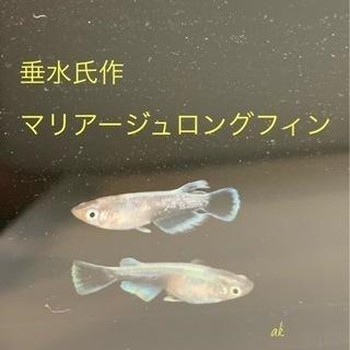 垂水氏作 マリアージュロングフィン 卵10個