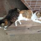2才と4才の親子猫の里親募集中、引き取りは1匹づつでも匹一緒でも...