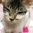 ☆里親募集☆子猫:生後2〜3ヶ月:白地に黒シマ:オス