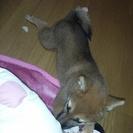 柴犬 メス7か月