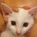 生後3ヶ月の白猫