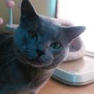 シャルトリュー(ブルー)の男の子(2才2ヶ月)