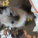 シャム猫(生後2〜3ヶ月)