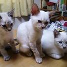瞳がブルーの可愛い子猫を貰って下さい!!
