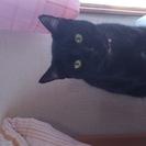 6月で一歳になる雄の黒猫ちゃん