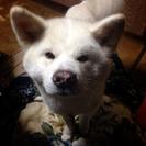 秋田犬の白毛のオスです。