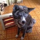 秋田犬虎毛メスです。