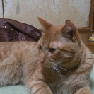 茶トラの猫です。