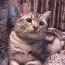 アメショー雄猫