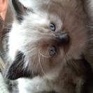 1ヶ月半の子猫ちゃんです。