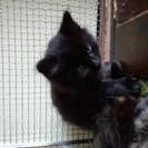 1ヶ月半の黒色子猫ちゃんです。