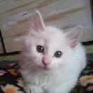真っ白子猫ちゃん里親募集です