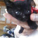黒猫ちゃんを育ててくれる方を探しています!!