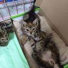 生後二週間前後の子猫