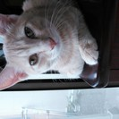 薄茶の綺麗な色のオス猫です。