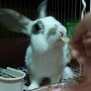ミニウサギとロップイヤーの男の子