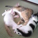 6月産れ、オス猫 2匹とその母猫