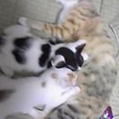 6月産れ、オス猫 2匹とその母猫 - 川越市