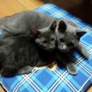 可愛くてやんちゃな子猫の里親さん募集♡グレー  素敵な里親様が名乗...