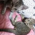 【暖かい家族が見つかりました♪】とても可愛い仔猫です