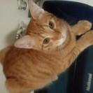 茶トラの男の子=^・^=カリン  [兄弟猫のゆずは暖かい家族の方に...