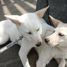 ミックス犬のオススマイルくん、メス咲ちゃん弟妹 10ヶ月くらい