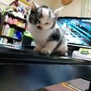 生後2ヶ月位の仔猫(メス)