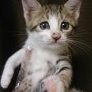 キジネコ 3ヶ月の女の子です