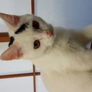 5ヶ月の白黒猫♀