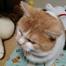 滋賀県で2歳の♂猫の里親を探しています!の画像