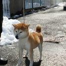 5才 柴犬(雌)