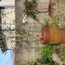 オリーブの木素敵な植木鉢付き