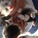 1ヶ月ぐらいの白い子猫の里親募集中です。