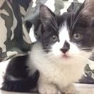 甘えん坊の可愛い仔猫です。