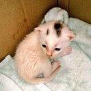 【急募】生後1ヶ月♂子猫