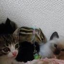 生後1ヶ月程度白×キジトラ♂赤ちゃん猫