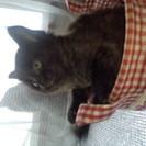 チンチラミックスのメス猫ちゃん